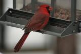 CardinalMarch 12, 2008