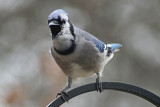 Angry BluejayMarch 16, 2008