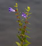 Frossört (Scutellaria galericulata)