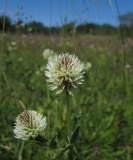Backklöver (Trifolium montanum)