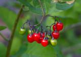 Besksöta (Solanum dulcamara)