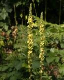 Mörkt kungsljus (Verbascum nigrum)