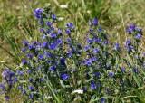 Blåeld (Echium vulgare)