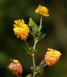 Gullklöver (Trifolium aureum)