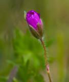 Blodnäva (Geranium sanguineum)