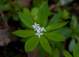 Myskmadra (Galium odoratum)