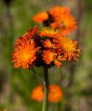 Rödfibbla (Pilosella aurantiaca)