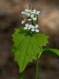Löktrav (Alliaria petiolata)