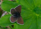 Fjällvickerblåvinge (Albulina orbitulus), hona