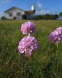 Backtrift (Armeria maritima ssp. elongata)