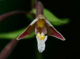 Kärrknipprot (Epipactis palustris)