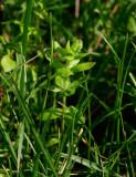 Korsmåra (Cruciata laevipes)