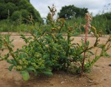 Blåmålla (Chenopodium glaucum)