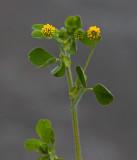 Trådklöver (Trifolium dubium)