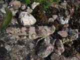 Blåvingad gräshoppa (Sphingonotus caerulans)