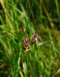 Rosenlök (Allium carinatum)