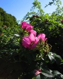 Vresros (Rosa rugosa)