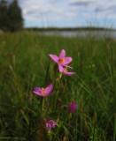 Kustarun (Centaurium littorale)