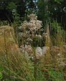 Flädervänderot (Valeriana sambucifolia)