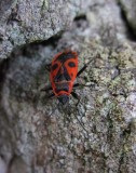 Eldlus (Pyrrhocoris apterus)