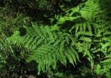 Majbräken (Athyrium filix-femina)