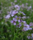 Baltisk marviol (Cakile maritima ssp. baltica)