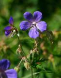 Ängsnäva (Geranium pratense)