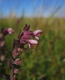 Rödtoppa (Odontites vulgaris)