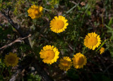 Färgkulla (Anthemis tinctoria )