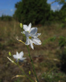 Liten sandlilja (Anthericum ramosum)