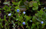 Trådveronika (Veronica filiformis)