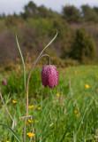 Kungsängslilja (Fritillaria meleagris)