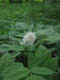 Trolldruva (Actaea spicata)