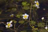 Vattenmöja (Ranunculus aquatilis)