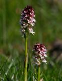 Krutbrännare (Neotinea ustulata)