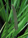 Kalmus (Acorus calamus)