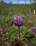 Alvargräslök (Allium schoenoprasum subsp. schoenoprasum var. alvarense)