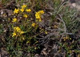 Ölandssolvända (Helianthemum oelandicum)