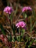 Fjällnejlika, öländsk  (Viscaria alpina var. oelandica)