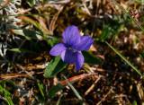 Ängsviol (Viola canina)