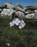 Kärrbräsma (Cardamine pratensis ssp. paludosa)