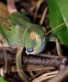 Europeisk vandringsgräshoppa (Locusta migratoria)