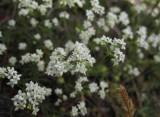Ölandsmåra (Galium oelandicum)