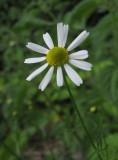 Kamomill (Matricaria chamomilla)