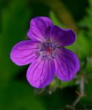 Midsommarblomster (Geranium sylvaticum)
