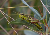 Kärrgräshoppa (Stethophyma grossum)