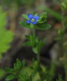 Fältveronika (Veronica arvensis)