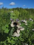 Bolmört (Hyoscyamus niger)