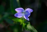 Storviol (Viola elatior)
