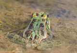 Rio Grande Leopard Frog (Rana berlandieri)